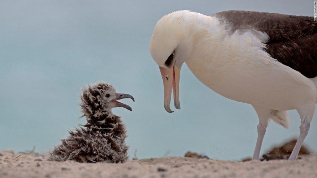 160901151337-midway-laysan-albatross-super-169